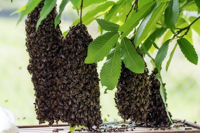 Bee Swarm On Tree