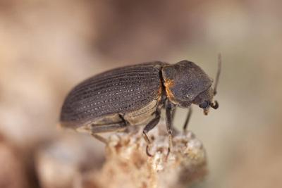 Furniture Beetle / Anobium Punctatum