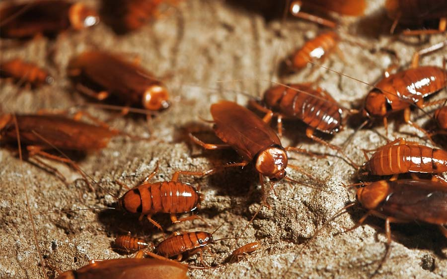 Everything You Should Know About Cockroaches
