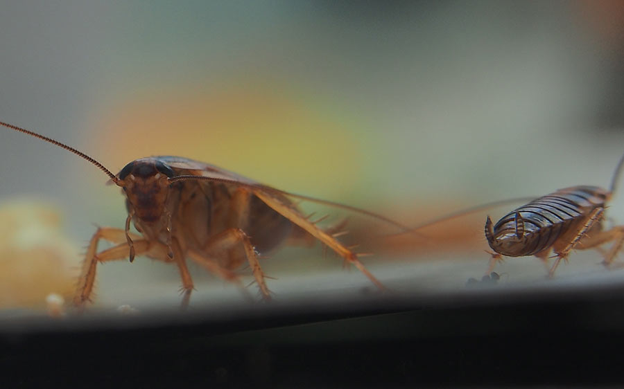 How Can Cockroaches Affect Your Health