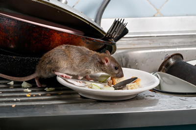 Rats in Kitchen