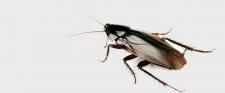 Smokey Brown Cockroach CONTROL