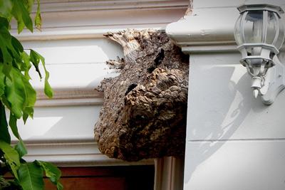 European Wasp Nest