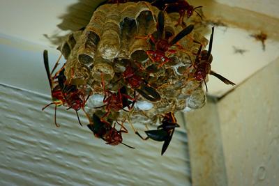 Hornets Wasp Nest