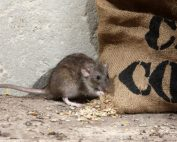 rat rodent pest control blog